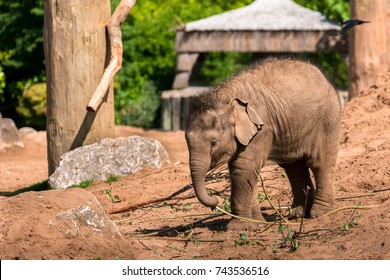 CHESTER, ENGLAND, UNITED KINGDOM - MAY 01 2017: Baby Asian Elephant (Elephas maximus) Nayan plays alone in the sand at Chester Zoo, portraying playfulness and independence.