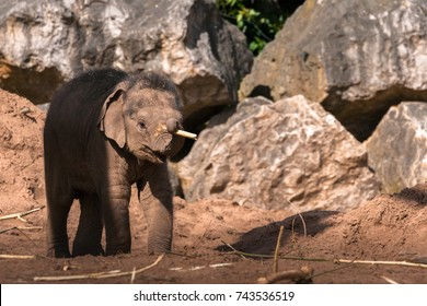CHESTER, ENGLAND, UNITED KINGDOM - MAY 01 2017: Baby Asian Elephant (Elephas maximus) Nayan plays with a stick, depicting playfulness and happiness.