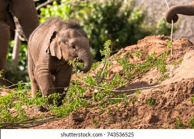 CHESTER, ENGLAND, UNITED KINGDOM - MAY 01 2017: Baby Asian Elephant (Elephas maximus) Nayan feeding at Chester Zoo, portaying security and contentment.