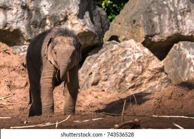 CHESTER, ENGLAND, UNITED KINGDOM - MAY 01 2017: Baby Asian Elephant (Elephas maximus) Nayan plays in the sand, depicting playfulness, innocence and happiness.