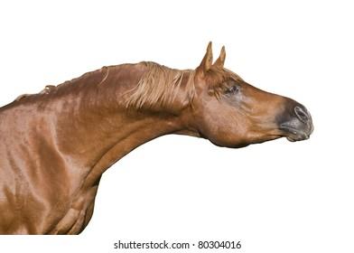 chestnut arab horse isolated portrait
