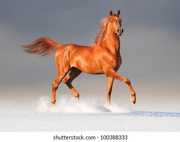 chestnut arab run free in snow