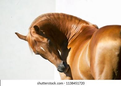 chestnut arabian horse portrait on white background