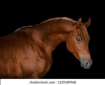 chestnut arabian horse portrait on black background