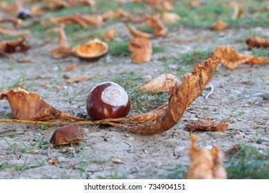 chestnut autumn