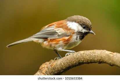 A Chestnut backed chickadee perched on a tree branch, Oregon