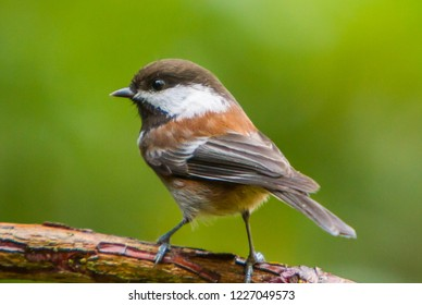 A chestnut backed chickadee perched on a branch