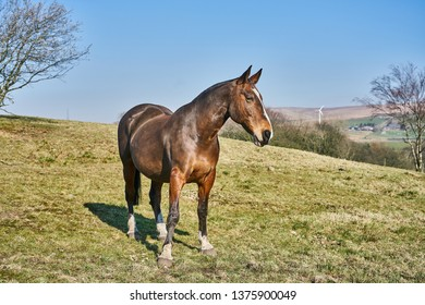 Chestnut Bay Horse near the top of a grassy hill with a wind turbine in the distance.