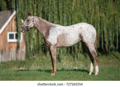 Chestnut Blanket Appaloosa Pony of the Americas Yearling Filly