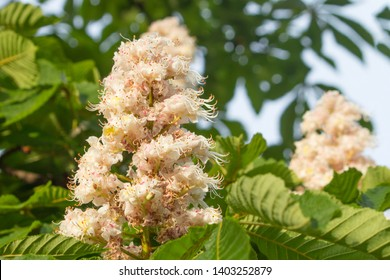 chestnut bloom with green background