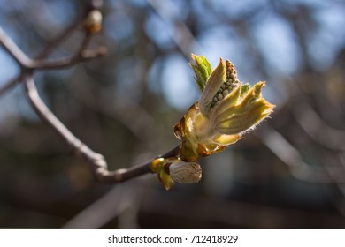 Chestnut blossoming in spring