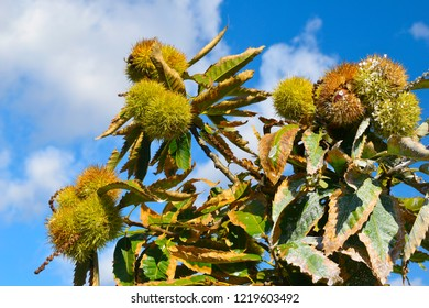 Chestnut branches with fruits or ripe chestnuts on blue sky background. Fruits and autumn foods. Medium plane.