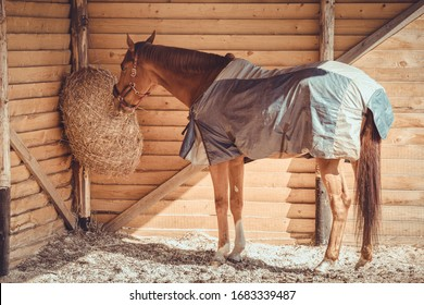 chestnut budyonny gelding horse in halter and blanket eating hay from haynet in shelter in paddock