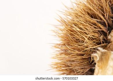 Chestnut burr on white bottom