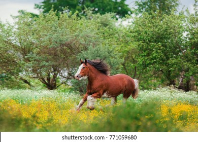 chestnut Clydesdale horse runs gallop in summer in yellow flowers