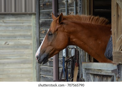 A chestnut colored domestic horse (Equus caballus) sticks its head over a stall door and observes outside its stable in Baltimore County Maryland.
