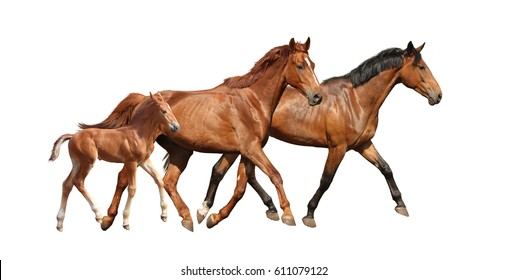 Chestnut cute foal running free with his parents isolated on white