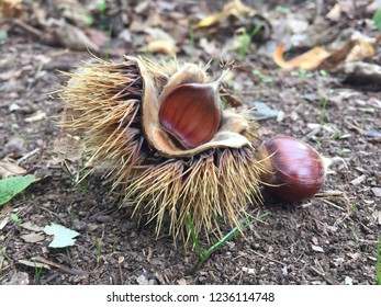 Chestnut fallen down to earth at the afternoon on October at Yalova, Turkey...