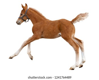 Chestnut foal cantering freely on white background.