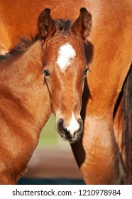 Chestnut foal, Horse, with mare, mother, with white blaze