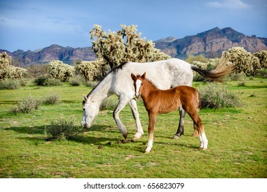 chestnut foal standing with white mother wild horse who is grazing near cholla cacti in front of the usury mountains.  Peaceful scene