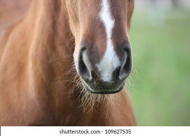 Chestnut foal with white stripe muzzle close up