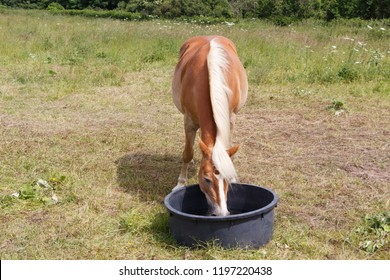 Chestnut Haflinger pony drinking in a trough in a field in Brittany