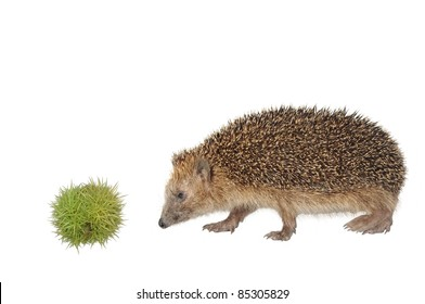 chestnut and hedgehog on white background