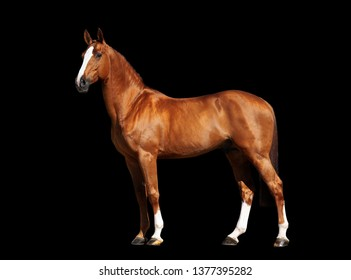 chestnut holshteiner horse isolated on black background