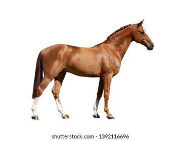 chestnut holsteiner horse isolated on white background