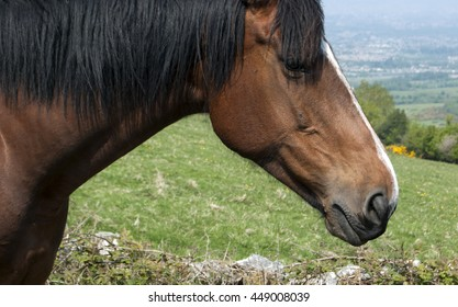 Chestnut horse with black mane and white stripe on the face on the field