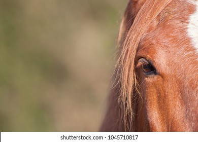 Chestnut horse eye in close-up. Equine poster image with copy space. Red brown or ginger comb-over mane hair and brown eye. Selective focus with blurred background and copy space.