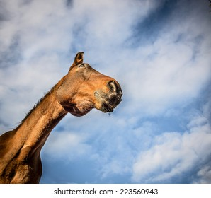 Chestnut horse face on sky background, view from below