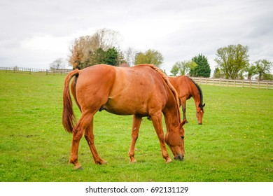 Chestnut Horse in The Farm Land