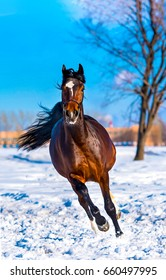Chestnut horse gallop on snow field winter landscape. Front view