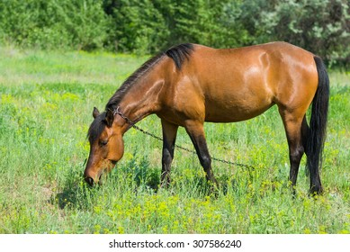 Chestnut horse grazing on a spring pasture