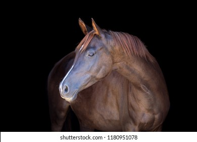 Chestnut horse isolated on black background