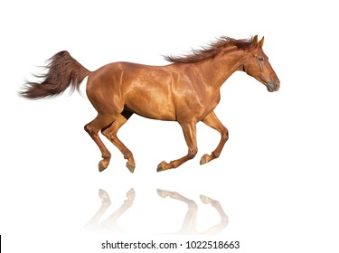 Chestnut horse isolated on white background galloping