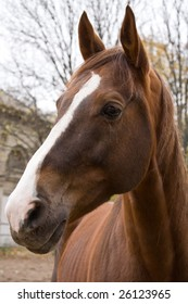 Chestnut horse looking out of enclosure