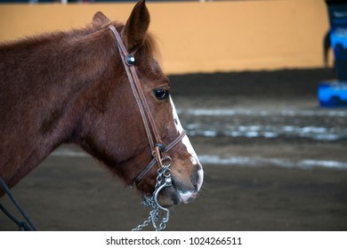 chestnut horse mare beautiful stallion competition Mexico Mexican horses livestock rural wall texture pure breed hair  horses competiton equine equestrian training ride riding farming run cute saddle