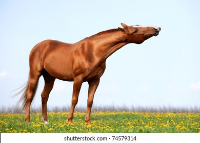 A chestnut horse neighing in the field.
