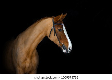 Chestnut horse portrait in bridle on a black background