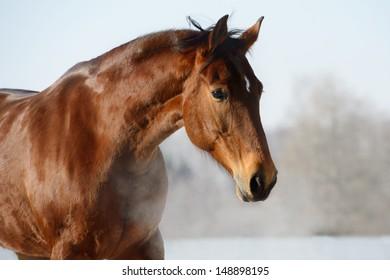 Chestnut horse portrait in winter time