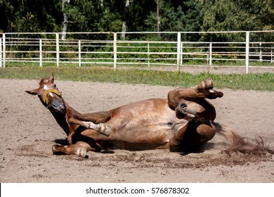 Chestnut horse rolling in the sand at the field