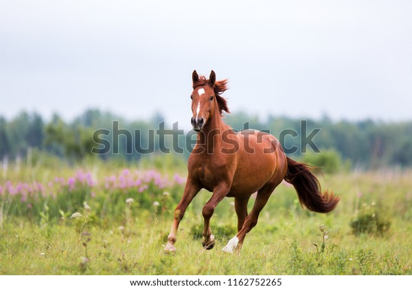 Chestnut Horse Runs Gallop On Spring Stock Photo Edit Now
