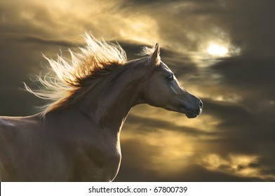 chestnut  horse runs gallop in sunset