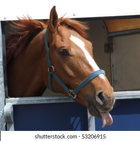 Chestnut horse sticking his tongue out at the camera
