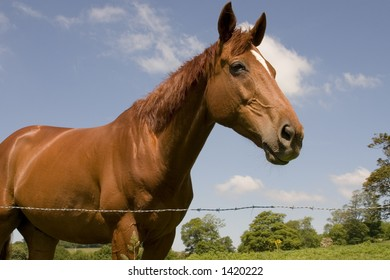 A chestnut horse in a summer field