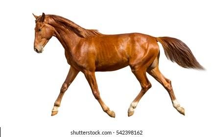 Chestnut horse is trotting freely.