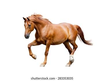 chestnut horse trotting isolated on white background